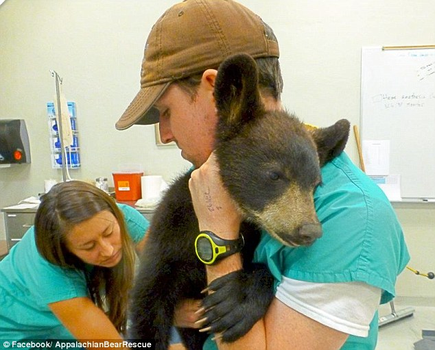 Noli Bear was taken by Tennessee Wildlife Resources Agency to the Appalachian Bear Rescue in Townsend. Staff took her to University of Tennessee Veterinary School to be treated for dehydration