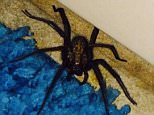 """STIAN_WOLF SPIDER_IMAGE001\n\nA WOMAN is being terrorised by a giant WOLF SPIDER¿which has been living in her bathroom for the past three months.\nNatalie Woods, 21, first noticed the spider after it popped out from underneath her shower at her home in Gravesend, Kent, in May this year.\nBut over the past few months, Miss Woods has watched as the spider has grown into a monster, with a body around an inch long and leg span an additional 1.5-inches.\nSpeaking this week, childcare worker Miss Woods said she was 'terrified' by the spider, saying it was 'growing and growing' and kept dashing in and out from under her shower.\nShe has even asked pals if she could borrow a super-powerful hoover to suck the critter up - or for someone to come and 'get rid of it' for her.\nSpeaking this week, Miss Woods said: """"It's frightening the life out of me.\n""""Even getting up for the toilet in the night I'm creeping downstairs in case I accidentally stir it or step on it.\n""""I noticed it ages ago but now"""