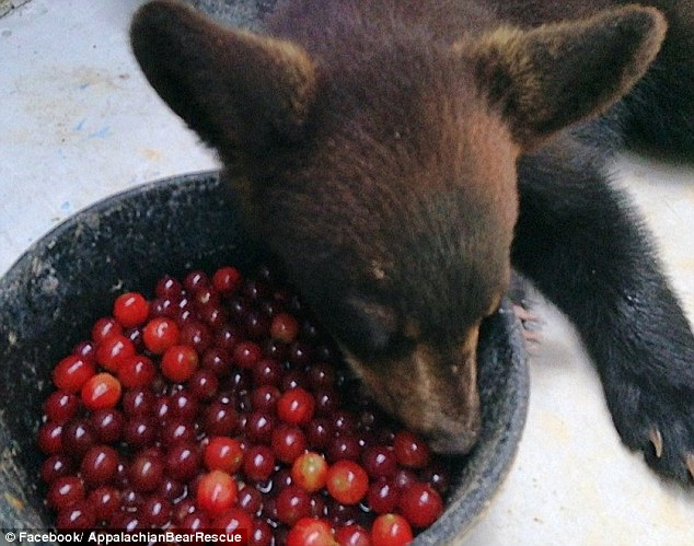 Noli Bear has been eating grapes and apple sauce, both of which are filled with water and help combat her dehydration