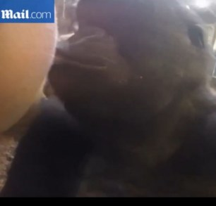 Kiss: A video has emerged of a girl and a gorilla kissing through the glass at a zoo in Omaha, Nebraska