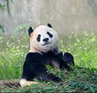 Pandas aren't lazy, it's their hormones
