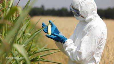 Biotechnology-Engineer-Examining-Immature-Corn-Cob-GMO-Crop-Test