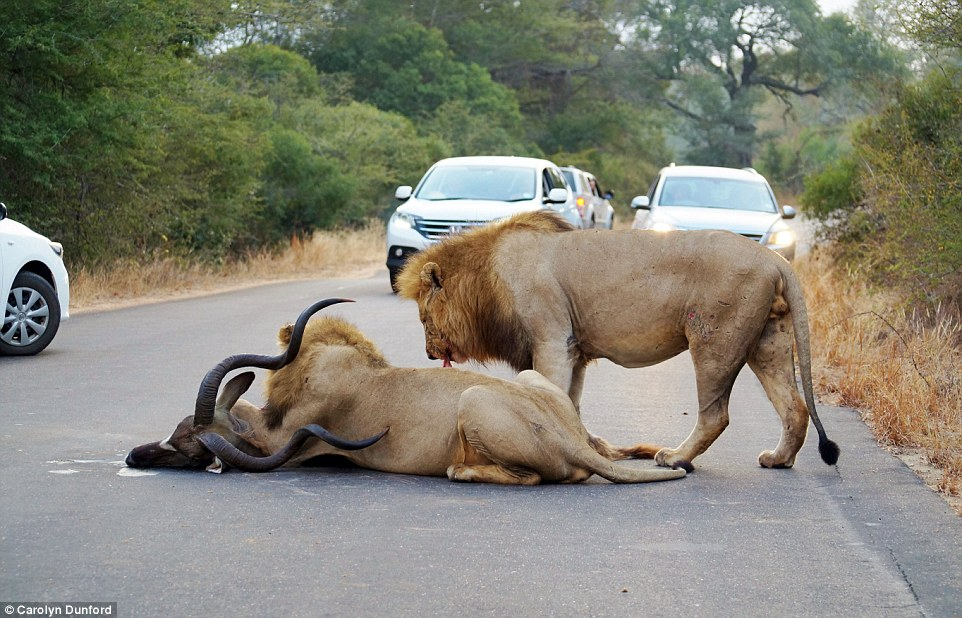 Victory: The two lions rip their prey apart in front tourists who have pulled over to watch the incredible scenes on a main road in the park