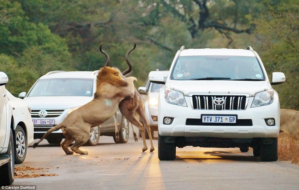 Breakfast: Tourists were stunned to see two hungry lions attack the antelope between their cars in Kruger National Park in South Africa