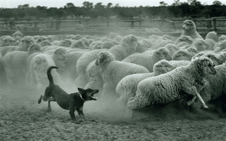 sheep-dog