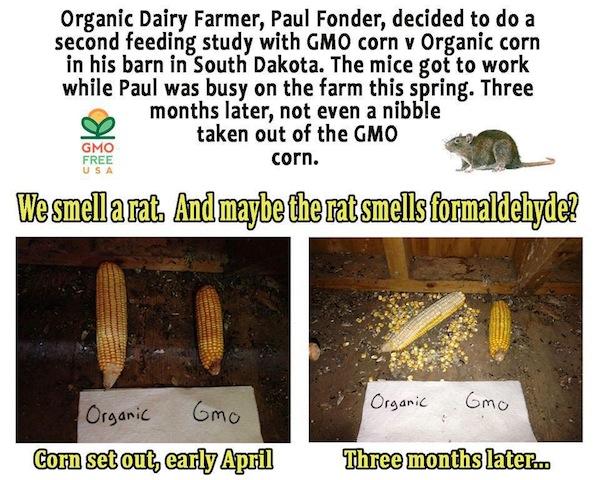 GMO-corn-rat_wont_eat
