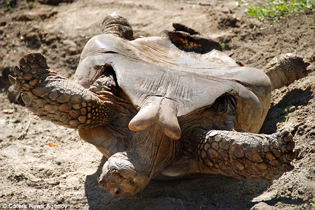 Flat on his back, the tortoise lost his balance when the female moved away -  and he had to scrabble in the mud