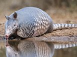 Nine-banded Armadillo (Dasypus novemcinctus) drinking at pond, south Texas, USA