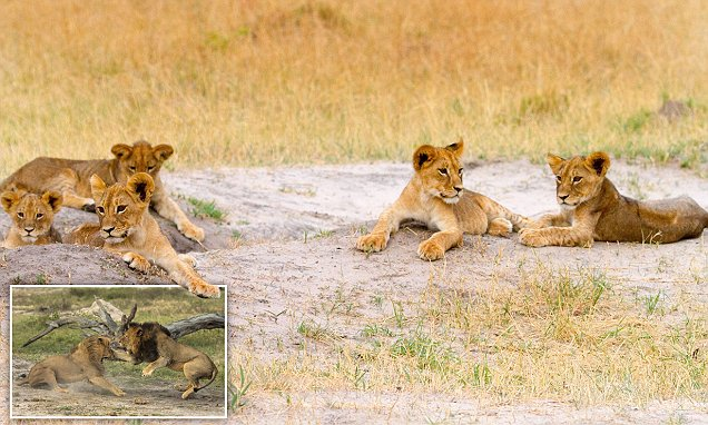 Cecil the lion's cubs are being protected by his BROTHER