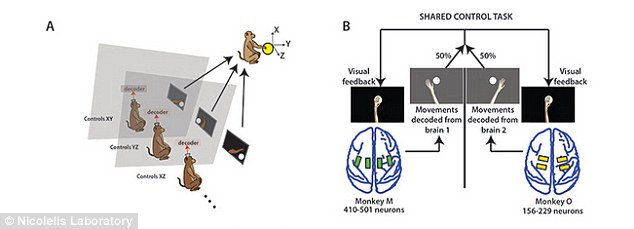In one study,rhesus monkeys were fitted with arrays to transmit their brain activity to a computer and learned to collectively control the arm of an avatar. Figure A shows how the monkeys were seated in separate rooms to control the arm, while B shows the electrodes placed in their brains that allowed them to 'move' the arm