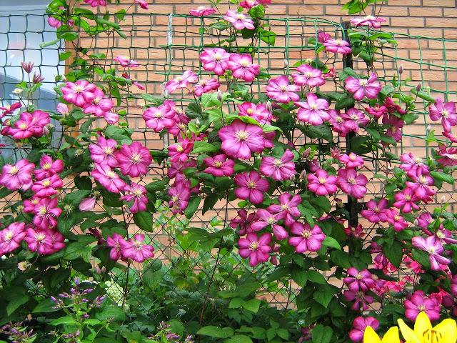 yVEb 3prjYw - 6 правил выращивания клематисов