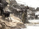 Pictured:  6/15:  As the wildebeest make their way along the river bank the croc strikes, catching one of the wildebeest. This is the dramatic moment a huge crocodile suddenly emerged from a river to grab a young wildebeest as it attempted to cross.  The herd of hundreds of wildebeests were trying to make the crossing as part of the Great Wildebeest Migration, which takes place from July to September and sees millions of the animals travel to find new grazing grounds. But this journey is beset with dangers, including attacks by ferocious crocodiles that can grow to around 16ft long, as they try and cross the rivers on their journey.  Photographer Clement Kiragu Mwangi, of Nairobi, in Kenya, captured the moment the male crocodile approach the group of wildebeests as they struggled to make their way up the side of the river bank before launching its attack.  SEE OUR COPY FOR DETAILS. Please byline: Clement Mwangi/Solent News © Clement Mwangi/Solent News & Photo Agency UK +44 (0) 2380 45