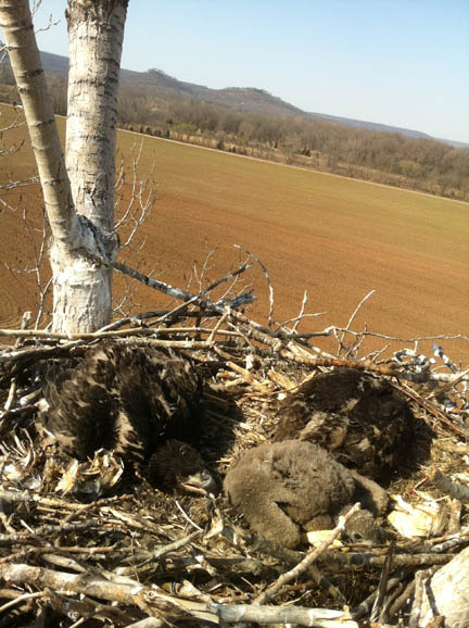 three eaglets in nest
