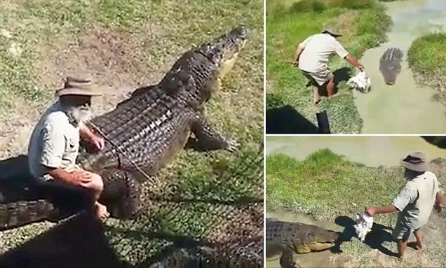 Handler whacks crocodile on the head with a dead chicken