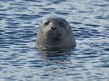 CX7JXW Common Seal - Watching from the sea Phoca vitulina Fetlar, Shetland, UK MA002416