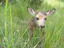 Fichier:Baby fawn's first steps.ogv