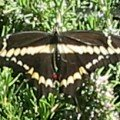 giant_swallowtail_marvel