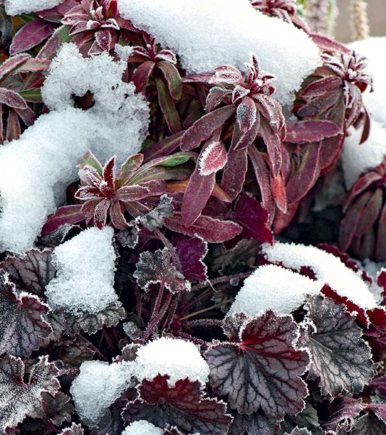 winter damage perennials