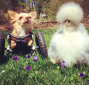Chihuahua finds puppy love with a hot chick: Roo the disabled dog forms inseparable friendship with fluffy chicken Penny