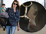 Los Angeles, CA - Ashley Greene carries her dog as she touches down at LAX on this Saturday afternoon.\n  \nAKM-GSI       September 5, 2015\nTo License These Photos, Please Contact :\nSteve Ginsburg\n(310) 505-8447\n(323) 423-9397\nsteve@akmgsi.com\nsales@akmgsi.com\nor\nMaria Buda\n(917) 242-1505\nmbuda@akmgsi.com\nginsburgspalyinc@gmail.com