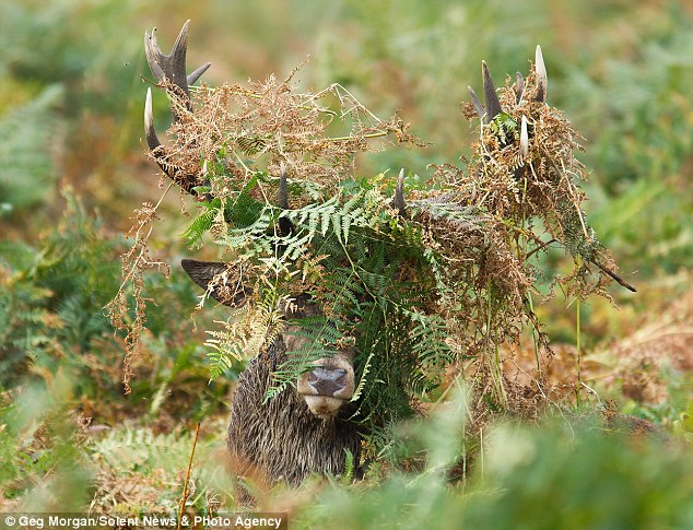 Camouflage: The mighty stag emerged from the bracken with his horns covered in bracken