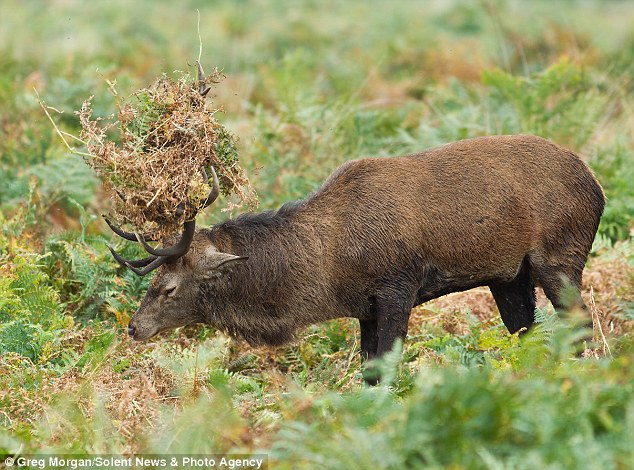 Mating season: Rutting is well underway for the Red Deer in Richmond Park in South London