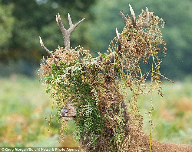 Strength: The Red Deer thrashed around in the undergrowth to build up the muscles in his neck