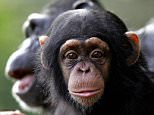 Chimpanzee at Dublin Zoo.  According to research from Stirling University, male chimpanzees lay on a jungle feast to help attract female mates.  PRESS ASSOCIATION Photo.  Issue date: Tuesday September 11, 2007.   The study of wild chimps in West Africa found that males steal desirable fruits from local farms and orchards to try and entice members of the opposite sex.  See PA story: SCIENCE Chimps.  Photo credit should read: Cathal McNaughton/PA Archive