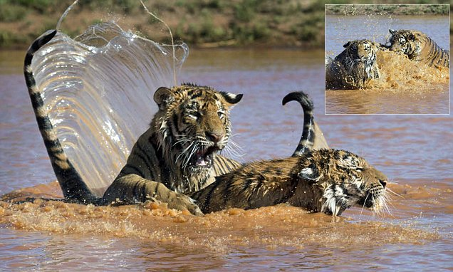 Tiger cub  in South Africa rescues his brother by giving him a piggy back