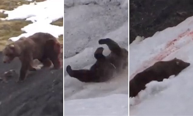 Video of a grizzly bear being shot by hunters as they jeer and laugh