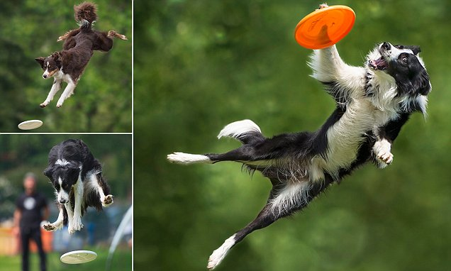 Photos of border collies up to six feet off the ground as they catch frisbees