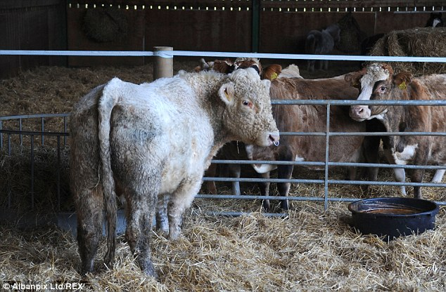 Benjy meets his new neighbours - three gentle elderly cows that are going to be next to him in the barn
