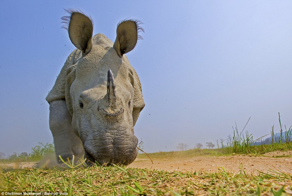 These rhinos are listed as a vulnerable species as the number of one-horned rhinos has dropped drastically in recent years due to poaching