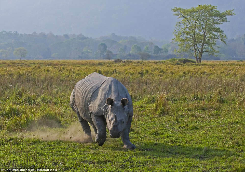 One-horned rhinos can be found across the entire northern part of India, along the Indus, Ganges and Brahmaputra River basins