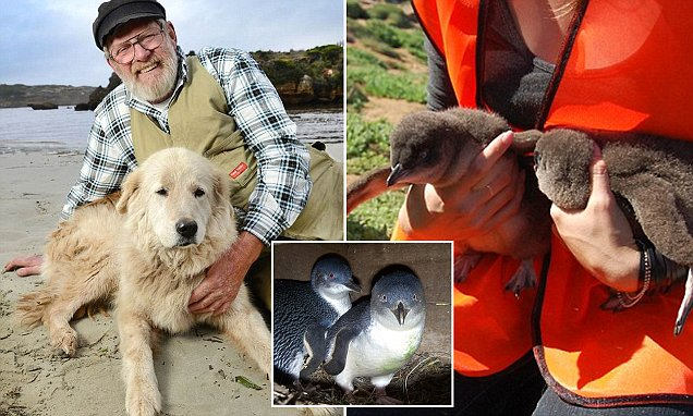 Meet the dogs that helped save a colony of Fairy penguins on Middle Island