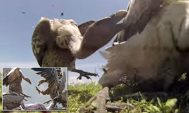 Researchers reveal video from inside a wilderbeast carcass left on the Serengeti