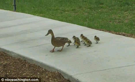 The family of ducks waddle along the grounds of the White House after being reunited, where they remain today