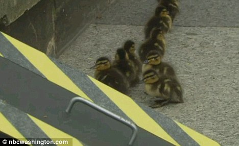 Guards tried to coax the duckling up a make-shift ramp will little luck