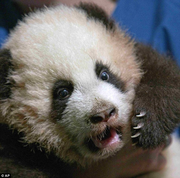 Growing up: The three-month-old giant panda cub has been named 'Po' by actor Jack Black at Zoo Atlanta
