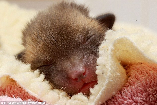 Early days: Pedro is the smallest fox cub ever rescued by the Secret World Wildlife Rescue Centre in Somerset