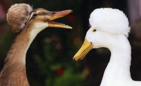 Saxony Crested Ducks: Mating rituals are endlessly fascinating to animal lovers and zoologists