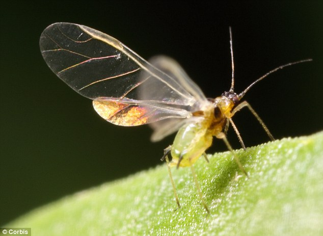Wasps feed on aphids, which are also in decline due to the weather, which leads to a knock-on effect in the food chain