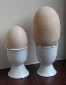 Eggstatic: The giant egg laid by Jeremy Paget's hen, Hattie