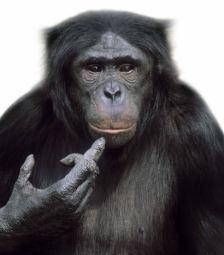 Bonobo monkey (right)