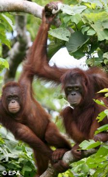 Two Orangutans hang on the trees