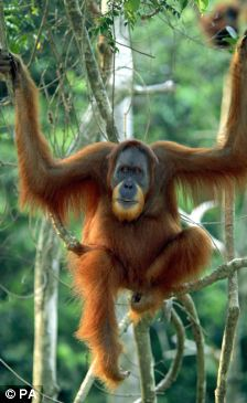 A Sumatran orang-utan (Pongo abelii) which has been listed as critically endangered by the Red List of Endangered Species