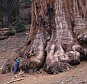Boy standing next to a Giant Sequoia