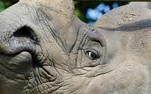 One of Edinburgh zoo's two male one-horned rhinos keeps an eye on proceedings. For the main event of World Rhino Awareness day Broughton FC's Women's rugby team take on the staff of RZSS Edinburgh Zoo for a tug-of-war.