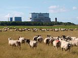 CC3GKG Sheep in front of Hinkley Point nuclear power station, Somerset, UK. Image shot 2011. Exact date unknown.