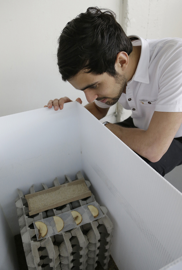 Daniel Imrie-Situnayake inspects an experimental habitat for banded crickets Monday, Feb. 9, 2015, in Oakland, Calif. (AP Photo/Ben Margot)